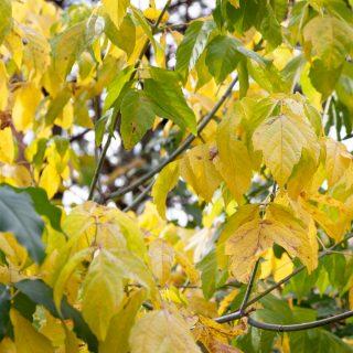 Droppen med Acer negundo 'Odessanum' - gulbladig asklönn höstfärg