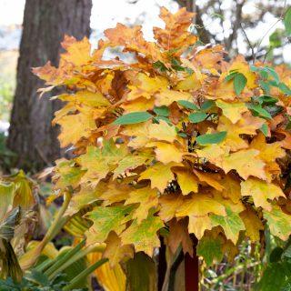 Quercus palustris 'Green Dwarf' - kärrek 'Green Dwarf'