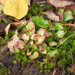 Shortia uniflora - fransklocka
