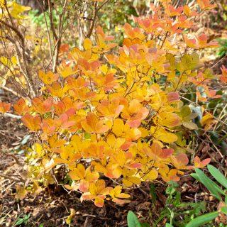 Rhododendronarter S-U - Rhododendron Schlippenbachii - koreansk azalea