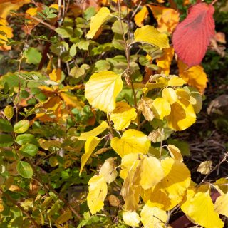 Parrotiopsis jacquemontiana in autumn