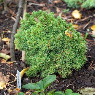 Picea glauca 'Alberta's Globe' - vitgran