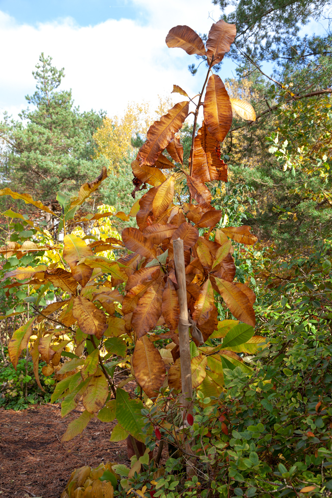 Magnolia tripetala - paraplymagnolia
