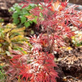 Acer palmatum 'Lionheart, japansk lönn 'Lionheart', autumn