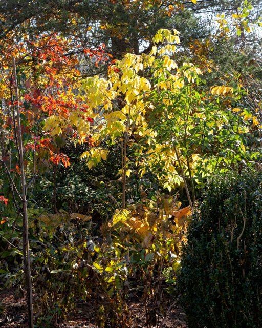 Acer negundo 'Odessanum' och Malus toringo 'Freja i höstfärger