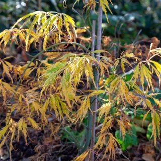 Acer palmatum 'Spring Delight', japansk lönn 'Spring Delight' höstfärg