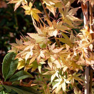 Acer palmatum 'Summer Gold' - höstfärg