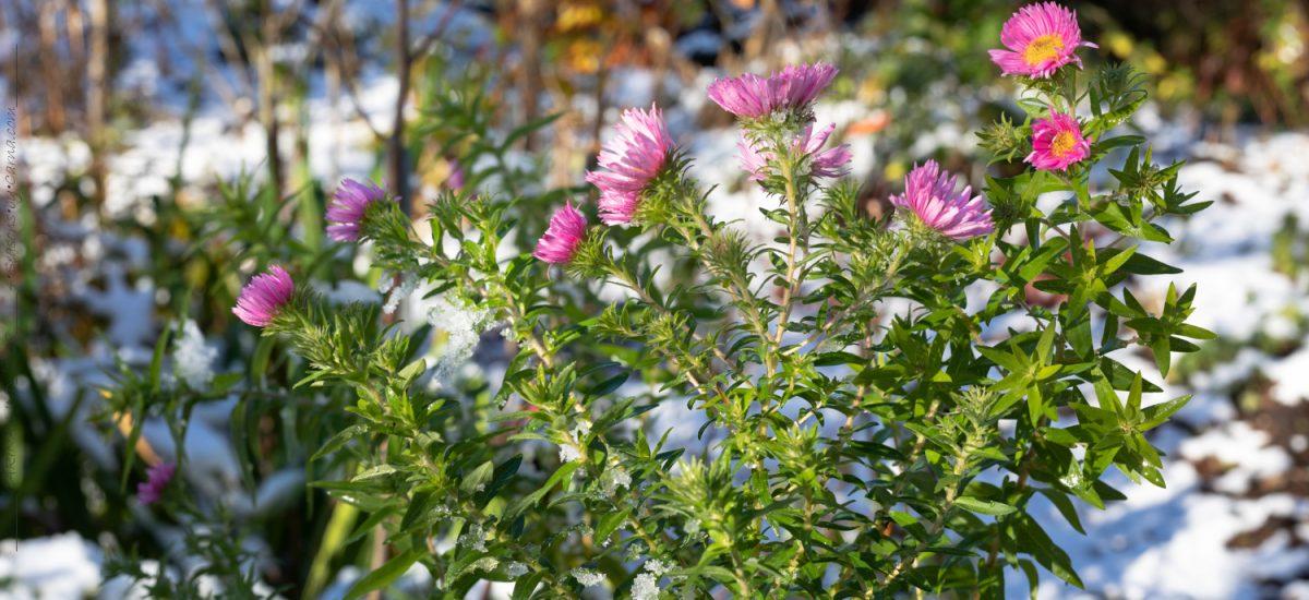 A – växter för lång blomning