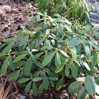Rhododendron Yakushimanum-grp 'Schneekrone'