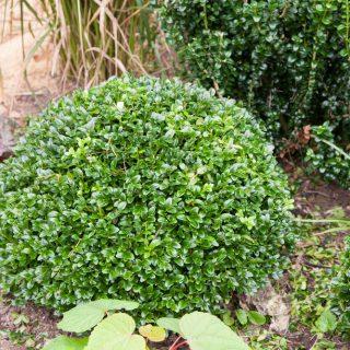 Trädgårdsframtiden - Buxus sempervirens 'Wrams Gunnarstorp'