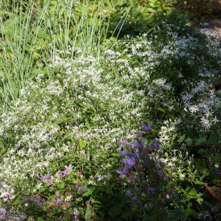 Eurybia divaricata - vit skogsaster