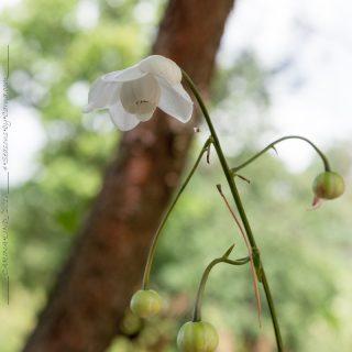 Anemonopsis macrophylla 'White Swan' - vit porslinsanemon