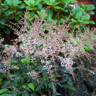Astilbe Simplicifolia-grp 'Inschriach Pink'