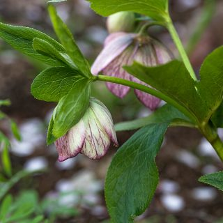 Helleborus x hybr. 'Dark Pink Veined'