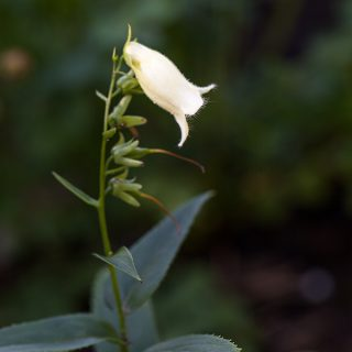 Digitalis ciliata