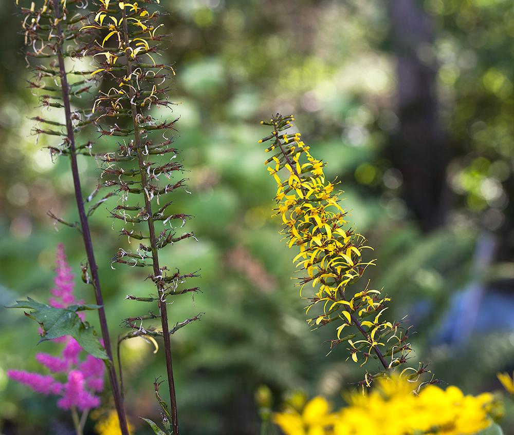 Färgen - Ligularia przewalskii - spirstånds