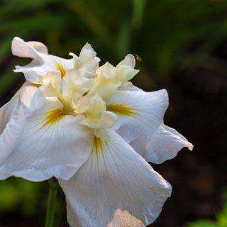 Japansk iris - Iris ensata 'Love Goddess'