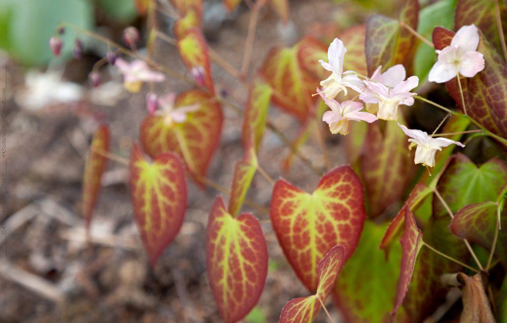 Epimedium hybrid - bladutspring
