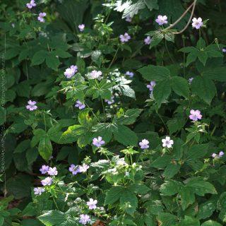 Geranium nodosum - blanknäva