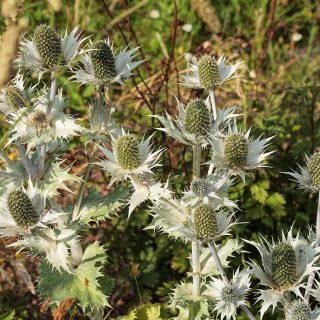 Eryngium giganteum, silvermartorn