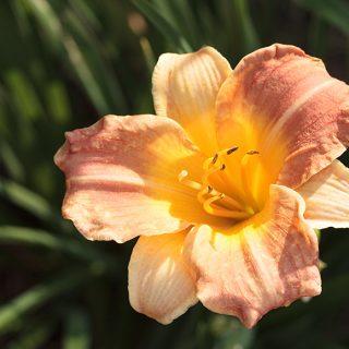 Hemerocallis Cultivar 2 - daglilja