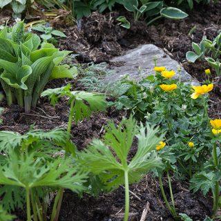 Ranunculus gouanii - smörskålsranunkel