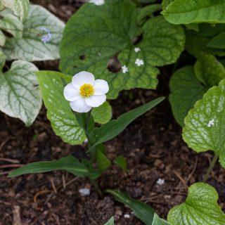 Ranunculus amplexicaulis - daggranunkel