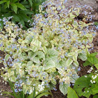 Brunnera macrophylla 'King's Ransom'- kaukasisk förgätmigej