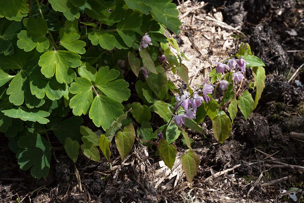 Epimedium x youngianum 'Roseum - sockblomma