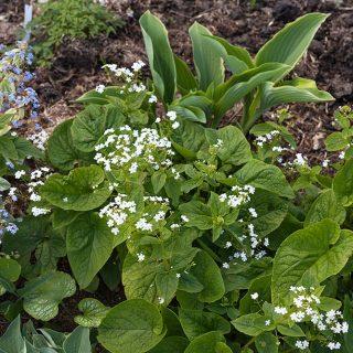 Brunnera macrophylla 'Betty Bowring'- kaukasisk förgätmigej