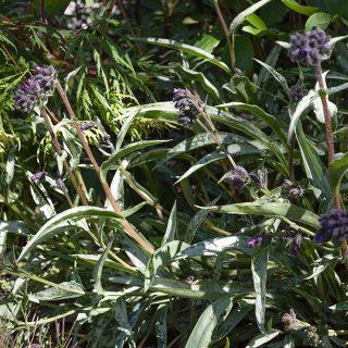 Pulmonaria longifolia ssp. cevennensis