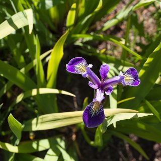 Iris setosa 'Nana' - tuviris