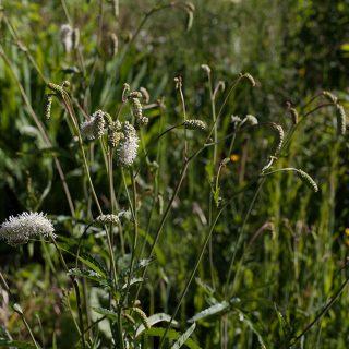 Sanguisorba tenuifolia 'Alba'