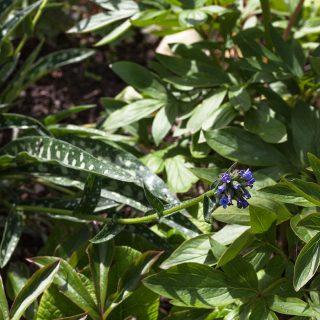 Pulmonaria longifolia 'E.B. Anderson' - smalbladig lungört