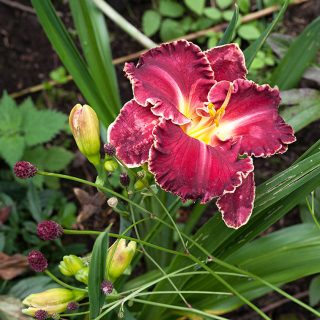 Hemerocallis 'Seize the Time' - daglilja