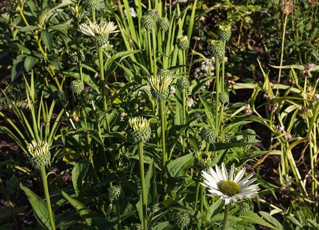 Solhatt, Echinacea purpurea 'Virgin' - solhatt