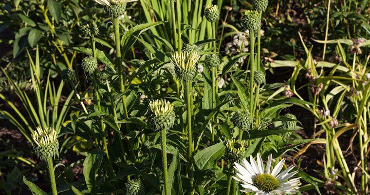 Solhatt, Echinacea, hur får jag de att  överleva