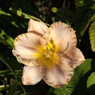 Hemerocallis 'Pearl Necessity' - daglilja