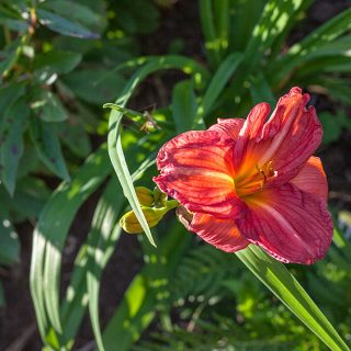 Hemerocallis 'Damascus Road' - daglilja