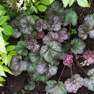 Heuchera 'Saturn' - alunrot