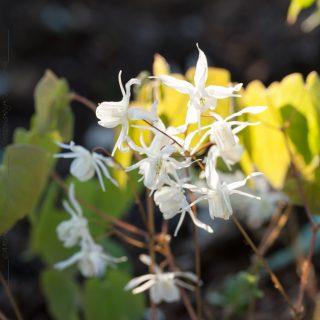 Epimedium grandiflorum 'Nanum' - japansk sockblomma