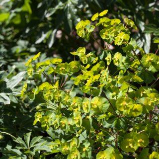 Euphorbia amygdaloides 'Purpurea' - mandeltörel