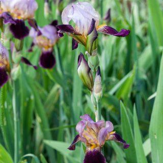 Iris germanica 'Morfar Ivars'
