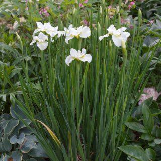 Iris sibirica 'Ester CDM'
