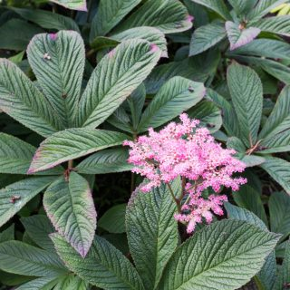 Rodgersia pinnata 'Chocolate Wing'