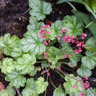 Heuchera 'Paris' - alunrot