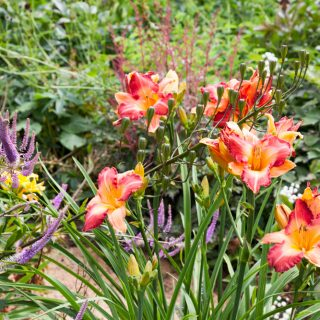 Hemerocallis 'Two Sues' - daglilja