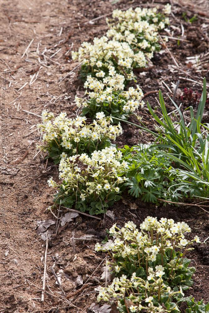Mormorsväxterna - Primula x pruhociniana 'John Mo'