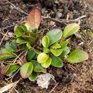 Berneuxia thibetica