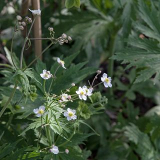 Ranunculus platanifolius - vitsippsranunkel